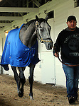 LOUISVILLE, KY - APRIL 20: Mohaymen (Tapit x Justwhistledixie, by Dixie Union) walks the barn after exercising at Churchill Downs, Louisville KY. Owner Shadwell Stable, trainer Kieran McLaughlin. (Photo by Mary M. Meek/Eclipse Sportswire/Getty Images)