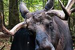 Bull moose 3/4 shot facing camera.