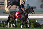SHA TIN,HONG KONG-DECEMBER 09: Queens Ring,trained by Keiji Yoshimura,exercises in preparation for the Hong Kong Cup at Sha Tin Racecourse on December 9,2016 in Sha Tin,New Territories,Hong Kong (Photo by Kaz Ishida/Eclipse Sportswire/Getty Images)