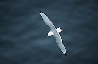 Black-legged Kittiwake, Rissa tridactyla, adult in flight, Ekkeroy, Norway, June 2001