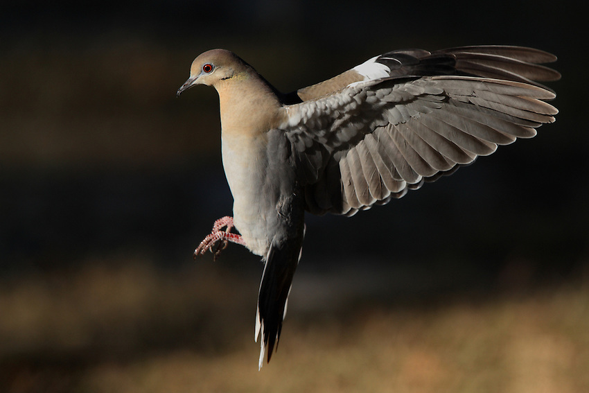 White-winged Dove at first light.
