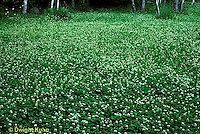 FW06-004b  White Clover - cover crop - Trifolium repens