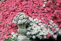Pink and white azaleas with garden statuary #5709. Virginia.