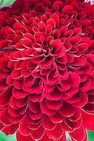 Zinnia 'Beauty' red annual flower