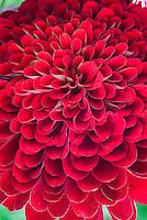 Zinnia 'Beauty' red annual flower