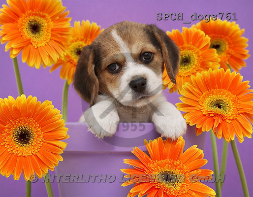 Xavier, ANIMALS, dogs, photos(SPCHdogs761,#A#) Hunde, perros