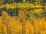 San Isabel National Forest, Colorado:<br /> Aspen in fall on Cottonwood Pass