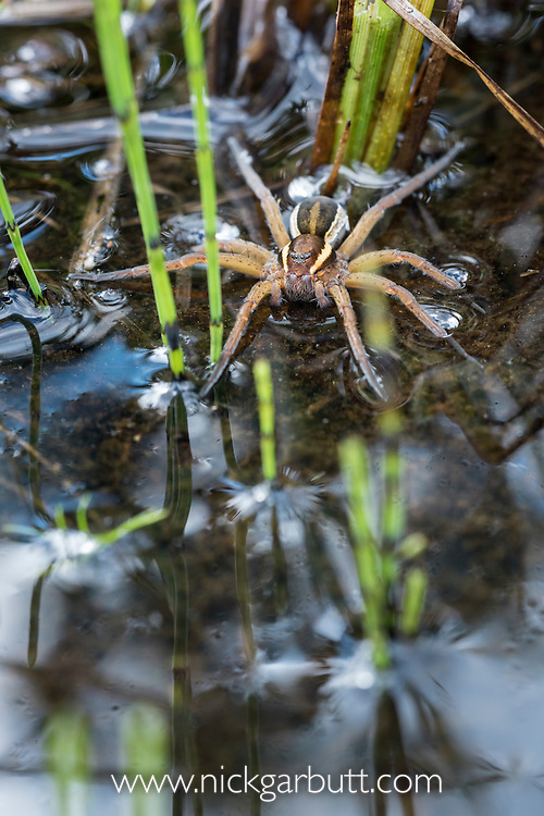 Raft Spider (Dolomedes fimbriatus) resting on water's surface amongst reeds and horsetails (Equisetum sp.), where it hunts its prey. Nordtirol, Tirol, Austian Alps, Austria. July.