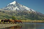HORSES DRINKING BY THE LANIN VOLCANO