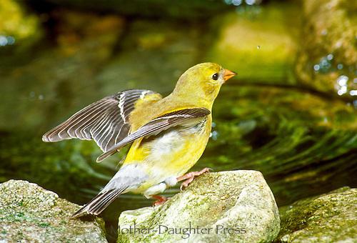 Female goldfinch, Spinus tristis,