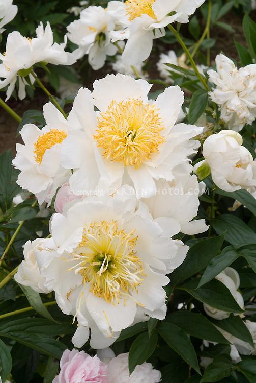 Paeonia peony white flowers semi double, Herbaceous peonies (need id)