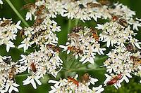 Insekten-Ansammlung auf einer Blüte, Doldenblütler, Nektarsuche, Bestäubung, Blütenbesuch, Weichkäfer, Schwebfliegen, Fliegen, Wespen und andere Insekten gemeinsam auf einer Blüte; Insect collection on a flower, Umbelliferae, pollination, visiting flowers, soldier beetles, hoverflies, flies, wasps and other insects together on a flower