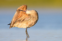 Marbled Godwit (Limosa fedoa) preening. Fort Desoto State Park, Florida. March.