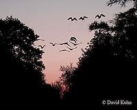 0926-06yy  Canadien Geese - Branta canadensis Flock Migrating into Sunset - © David Kuhn/Dwight Kuhn Photograhy