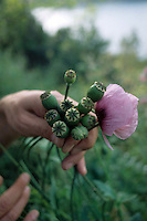 Fiori. Flowers. Papaveri. Poppies.....
