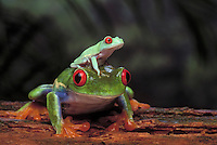 RED-EYED TREE FROG/Red-Eyed Leaf Frog & Young..Central America. Captive..Agalychnis callidryas.
