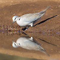 Ring-necked doves were among many bird species we photographed at the Mashatu hide.