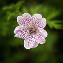 Geranium clarum, late May. Native to high mountain forests of Mexico.