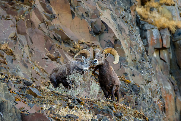 Bighorn Sheep Rams (Ovis canadensis) exhibiting dominance behavior--ram on left bowing to dominant ram on right.  North Central Oregon.  Fall.  These sheep were formerly known as California Bighorn, but are now classified with Rocky Mountain Bighorn.