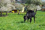 Kuh, cow, Eschen, Rheintal, Rhine-valley, Liechtenstein.