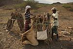 people from Massawa bringing wood on camel back