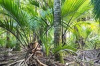 Nikau Palm coastal forest in Kohaihai near Karamea, Kahurangi National Park, Buller Region, West Coast, New Zealand, NZ