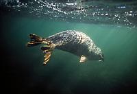 Harbor seal, Phoca vitulina, underwater near Nanaimo, British Columbia, Canada