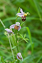 Bee orchid (Ophrys apifera), late June.