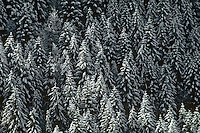 Snow flocked fir and larch trees, Pacific Northwest