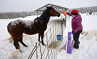 Horsemanship instructor Marsha Wyatt feeds and checks on horses as snow falls Wednesday, Feb. 17, 2021, at Windsong Ranch, which she operates south of Greenland. Wyatt spent the morning feeding and checking on water tanks for the horses that she boards and uses for lessons. Visit nwaonline.com/210218Daily/ for today's photo gallery. <br /> (NWA Democrat-Gazette/Andy Shupe)