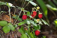Wald-Erdbeere, Walderdbeere, Erdbeere, Wald-Erdbeeren, Walderdbeeren, Erdbeeren, Fragaria vesca, wild strawberry, woodland strawberry, Alpine strawberry, European strawberry, strawberry, strawberries, fraises des bois