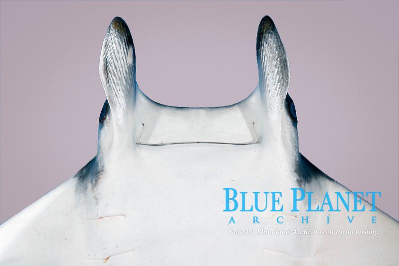 Atlantic devil ray, Mobula hypostoma, ventral head showing cephalic lobes and mouth