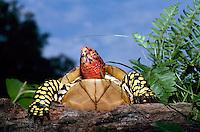Male ornate Box turtle climbing over log on summer evening in summer garden, Missouri USA