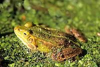 Poel kikker (Pelophylax lessonae) Poelkikker (Pelophylax lessonae)