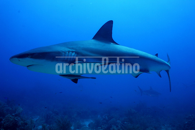 A shark  in the sea near Roatan Island, Honduras, April 11, 2007..Every year hundreds of certify divers arrive to the island and choose the.Experience of diving with this Caribbean Reef Shark in the Roatan waters..The Caribbean reef shark or Carcharhinus perezii, is found in the.tropical western Atlantic and the Caribbean, from Florida and the.Bahamas to Brazil. Its length is up to 3 metres (10 ft). It is one of.the largest apex predators in these areas, they are ussually seen.cruising the edge of reefs, over deep water and feed on reef fish, rays.and large crabs....
