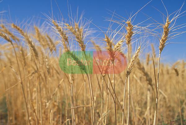 wheat in farm field ready for harvest