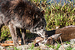 grey wolf mixed chocolate color phase eating deer carcass, close-up