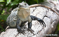 0626-1103  Black Spiny-tailed Iguana (Black Iguana, Black Ctenosaur), On Half-moon Caye in Belize, Ctenosaura similis  © David Kuhn/Dwight Kuhn Photography