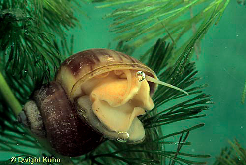 1Y04-034a  Water Snail - mystery snail with operculum opened - Campeloma spp.