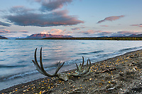 Moose antlers along the shores of Naknek lake, Katmai National Park, Alaska.