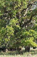 Stiel-Eiche, Eichen, Stieleiche, Eiche, alte Eiche in der Elbtalaue, Quercus robur, Quercus pedunculata, English Oak, pedunculate oak, Le chêne pédonculé