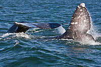 California Gray whla (Eschrichtius robustus) in San Ignacio Lagoon on the Pacific Ocean side of the Baja Peninsula, Baja California Sur, Mexico. Shown here is courtship behaviour, with adult males vying for position beside a receptive female. Each winter thousands of California gray whales migrate from the Bering and Chukchi seas to breed and calf in the warm water lagoons of Baja California. San Ignacio lagoon is the smallest of the three major such lagoons. Current (2008) population estimates put the California Gray whla at between 20,000 and 24,000 animals.