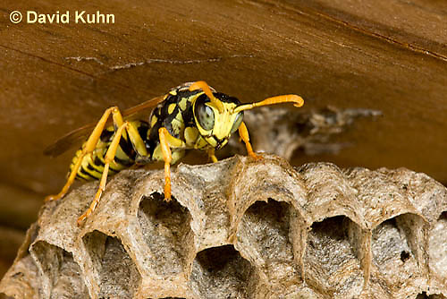 0621-1103  European Paper Wasp on Paper-like Nest, Invasive Species in North America, Polistes dominula (Polistes dominulus)  © David Kuhn/Dwight Kuhn Photography