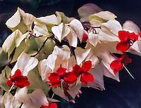 Bleeding Heart Vine, Glory Bower <br /> Clerodendrum thomsoniae. Crystal Garden, Victoria, British Columbia, Canada.