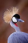 Grey crowned crane portrait