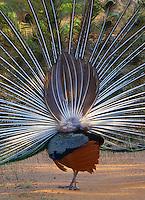 Sri Lankan Peacock performing a spectacular mating ritual,Yala National Park, Sri Lanka