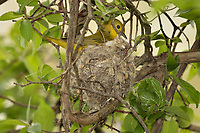 Female Yellow Warbler on nest (Setophaga petechia).  Great Lakes Region.  May.