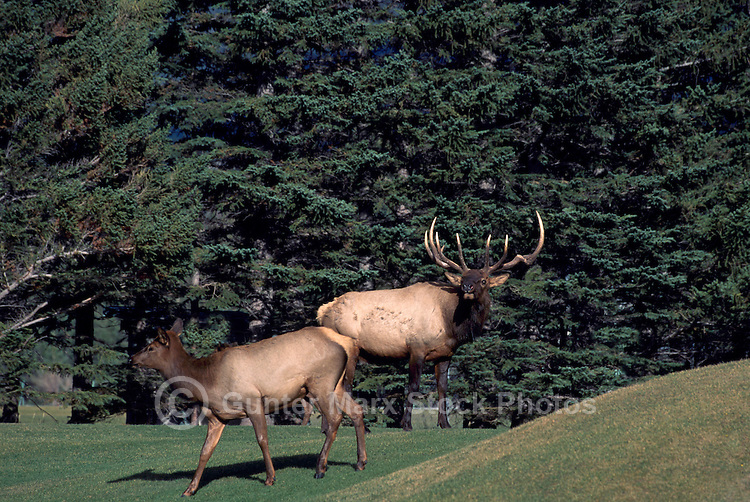 Banff National Park, Canadian Rockies, AB, Alberta, Canada - Bull Elk and Elk Cow, Wapiti (Cervus canadensis) on Banff Springs Golf Course, Mating Season