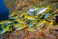 Shoal of Blue and gold snapper, Lutjanus viridis and Schoolmaster Snapper, Lutjanus apodus, Cocos Island, National Park, Natural World Heritage Site, Costa Rica, East Pacific Ocean