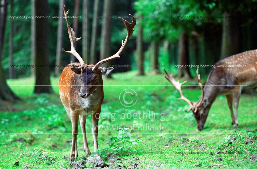 Germany, forest, spotted deer / DEUTSCHLAND, Wald, Dammwild, Rehbock mit Geweih